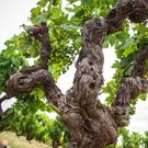 El vi de Calonge