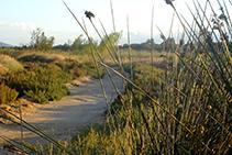 Camí entre jonc marí i vegetació dunar.