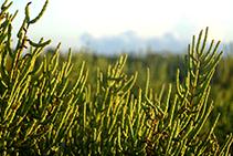 Varietat de savina adaptada als sorrals i les dunes. <i>Juniperus phoenicea varietat turbinata</i>.