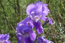 Lliri dels Pirineus (<i>Iris xiphioides</i>).