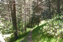 L´ombrívola pineda del bosc de la Caülla.