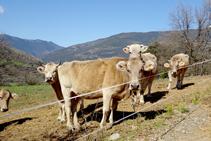 Vaques prop de la borda de Soliguer.