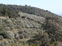 Bancals d´oliveres al vessant meridional de la Muntanya Negra.