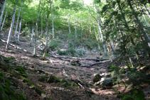Avancem per un bosc en el que hi prodomina el faig.