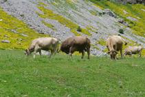 Vaques a la vall d´Ordesa.