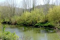 Bosc de ribera al riu Ter.