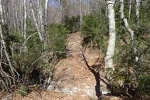 El corriol guanya altura per l´interior d´un bosc.