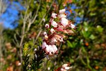 El bruc d´hivern (Erica multiflora) a l´alzinar de coll de Jou.