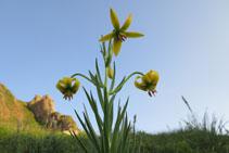 Flor d´alta muntanya als prats propers de la Dent d´Orlu.
