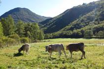 Vaques pasturant en un prat proper al salencar.