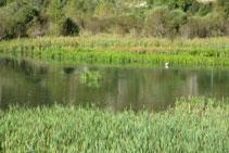 El salencar és un refugi per moltes aus aquàtiques.