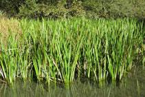 Els joncs, planta herbàcia molt habitual en aquest tipus d´ambients naturals.