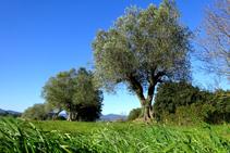 Camps d´oliveres a Fonteta.