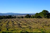 Camps de vinya de la Denominació d´Origen Empordà.