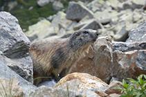 Marmota a les roques del vessant N del pic de les Abelletes.