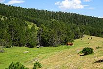 Prats, cavalls i bosc de pi negre.