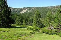 Bosc de pi negre amb sotabosc de neret: estatge subalpí.