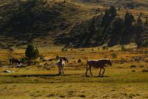 Cavalls.