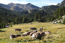 Ramat de vaques descansant.