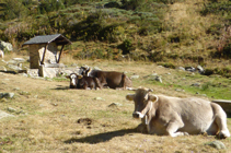 Vaques jaient a la font del Travenc.