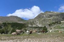 Algunes vaques pasturant prop del refugi.