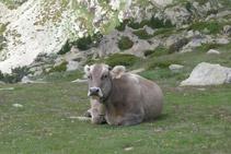 Vaca descansant.