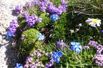 La flora de l´alta muntanya al cim de l´Alt del Griu.