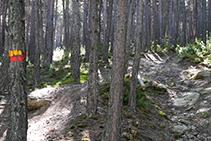 Senyals grocs i vermells del GRP que ens guien a través del bosc de pi roig.