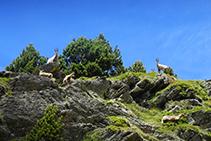 Isards a Coms de Jan, a la capçalera de la vall de Ransol.