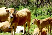 Ramats de vaques a Sorre.
