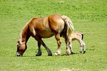 Cavalls pasturant a Sorre.