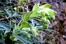 El marxívol floreix a l´hivern i és una planta tòxica, molt habitual a les obagues de l´estatge montà, com les que ens trobem en aquesta ruta.