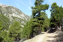 Bosc de pi negre a la vall de la Llosa.