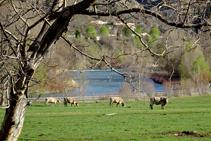 Vaques pasturant als prats de les Vernedes.