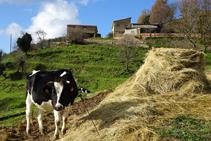 Vaca Frisona al mas Lladré.