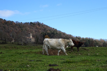 Vaques pasturant al pla de Capdevila.