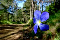 Flor de lli a la serra del Catllaràs.