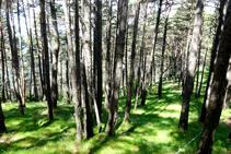 El bosc de pi roig a la collada del Tosquer.