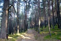 Bosc de coníferes de Sant Joan.