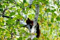 L´esquirol, un dels habitants del bosc.