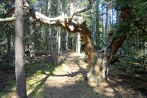 Arbres vells al bosc de la Culla.