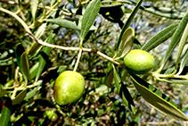Olivera, arbre conreat i molt present a la zona.