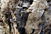 """Escorça d´alzina surera (arbre que a la zona s´anomena popularment """"suro"""")."""