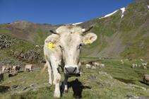 Vaques pasturant al circ dels Meners.