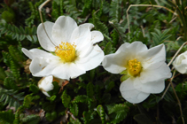 Planta pròpia de les carenes pedregoses i ventejades sobre substrat calcari.