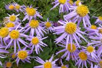 L´aster alpí, una bonica flor típica dels prats de substrat calcari.