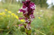 L´orquis socarrat, una altra orquídia típica dels prats.