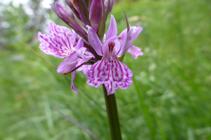 L´orquis maculat, una altra orquídia que podem trobar durant el recorregut.
