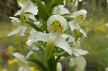 Botonets de gos, una bonica orquídia de flors amb olor de vainilla.