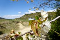 Cirerers florits arribant a coll de Pallers.